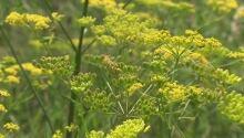 Wild parsnip noxious plant Ottawa July 22 2015