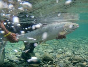 hi-atlantic-salmon