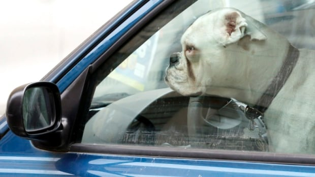 Dogs left in hot cars could die, the OSPCA says.