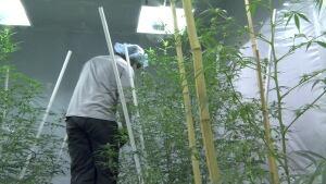 Employee trimming marijuana plants a Delta 9 in Winnipeg