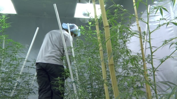 Employee trimming marijuana plants a Delta 9 in Winnipeg