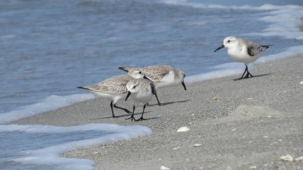 Saskatchewan naturalist and author Trevor Herriot says that as many as 40,000 to 50,000 sanderlings, pictured here, have been seen at one time at Chaplin.