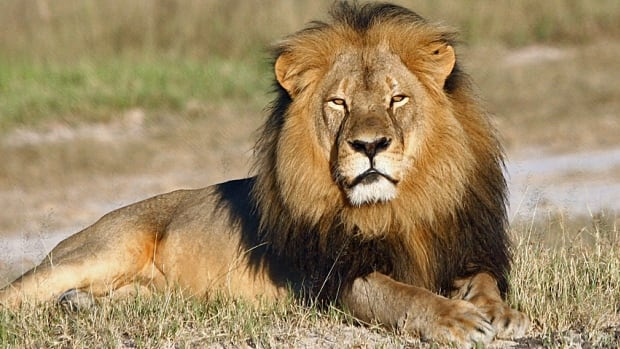 Last year, an American killed a well-known lion named Cecil in Zimbabwe in an allegedly illegal hunt, causing an international outcry.