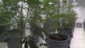 Marijuana plants in one of the growing rooms at Delta 9