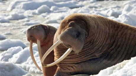 Alaska Walrus Hunts