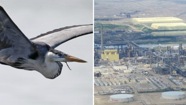Syncrude Canada charged with 2015 blue heron deaths