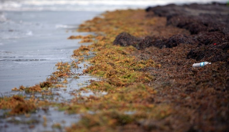 Stinking seaweed piling high on beaches in tourism-dependent