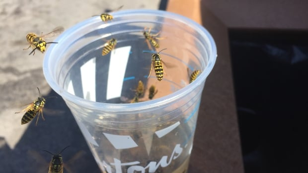Poulin's Pest Control Services says the wasps are much worse this year than last because of a mild spring and winter.