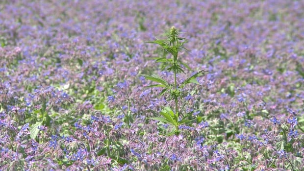 In three of the fields where cannabis sativa has been found, borage, a seed grown for its oil which also produces bright blue flowers, is grown for Technology Crops International of Kensington.