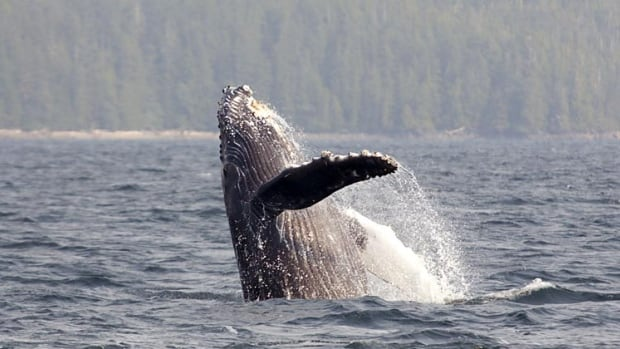 The acrobatic humpback whale has been spotted in large numbers in places like Howe Sound this summer.