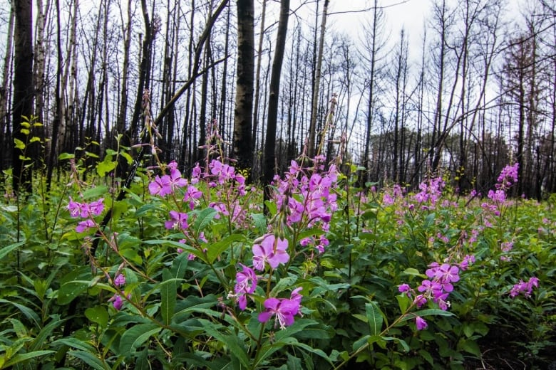Seeds of hope sprouting in burned-out Sask. forests