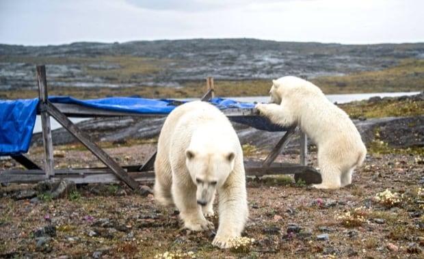 Polar Bear chesterfield inlet