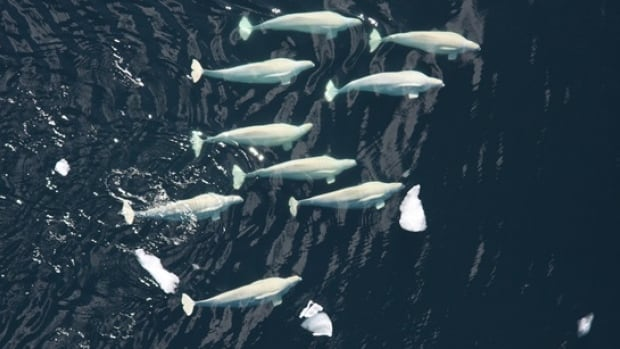 A pod of beluga whales swim in Darnley Bay. Researchers are monitoring the whales using hydrophones, drones, and local observation.