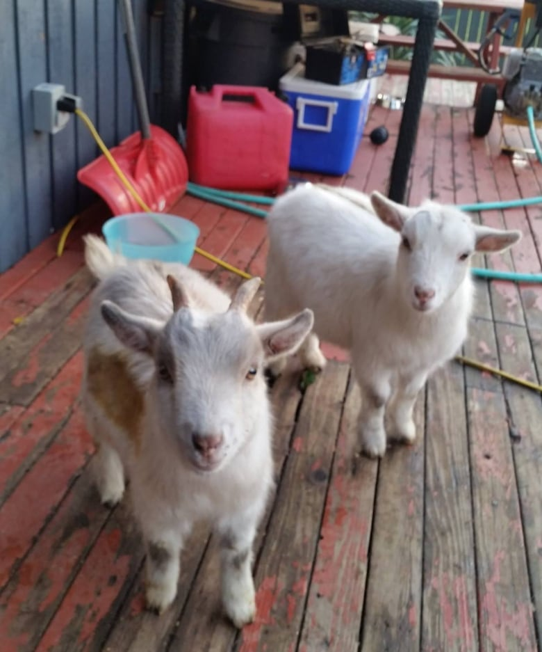 Pet pygmy goats facing eviction in Richmond | CBC News