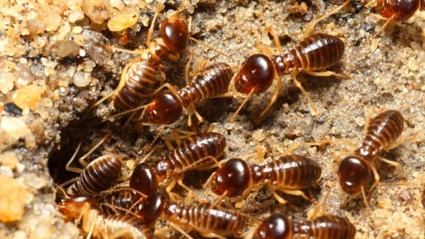 Termite infestations have been identified in Winnipeg's St. Boniface area, entomologist Taz Stuart of Poulin's Pest Control Services confirmed on Friday.
