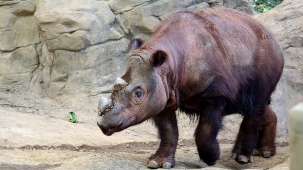 "Harapan, a Sumatran rhino enters his Wildlife Canyon at the Cincinnati Zoo and Botanical Gardens Tuesday, Aug. 25, 2015, in Cincinnati. Harapan, or ""Harry"" is the only Sumatran rhino in the Western Hemisphere, one of three calves born at the Cincinnati Zoo. He will be moved to Indonesia, to breed at the Sumatran Rhino Sanctuary."