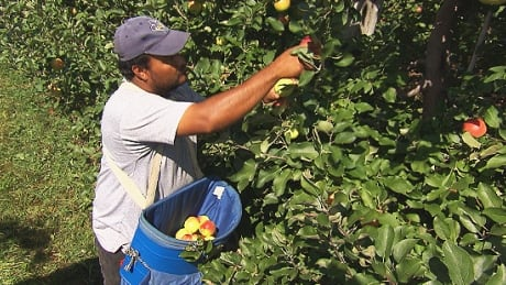 Temporary foreign worker Quebec apple farm