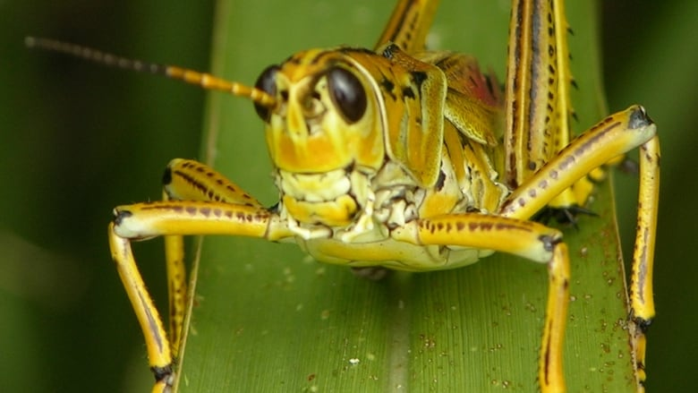 Alberta could face grasshopper 'blowout' this summer if