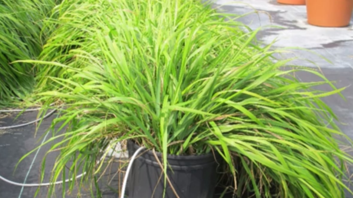 phytol sweetgrass comparable to deet as mosquito repellent us
