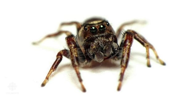 Bronze jumping spiders, which are about half a centimetre long, are considered beneficial because they prey on caterpillars, aphids or other pests that damage fruits and flowers.