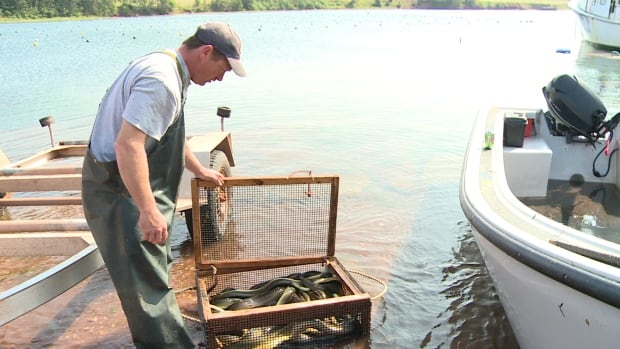 An eel fishermen checks on his catch. P.E.I. fishermen want the harvest delayed this year because of warm water concerns.
