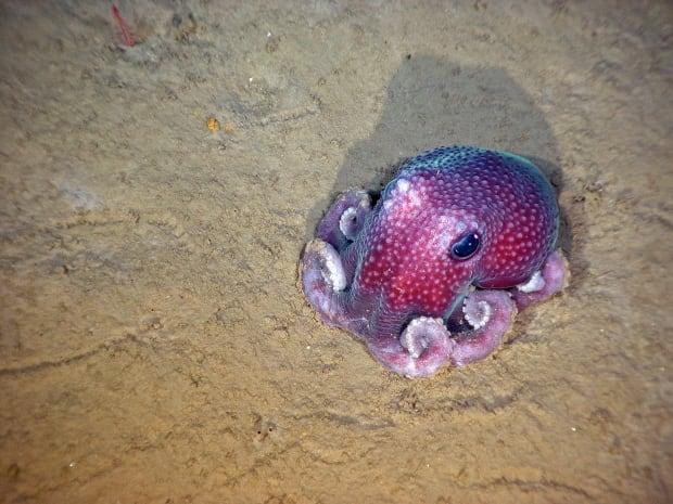 benthic octopus