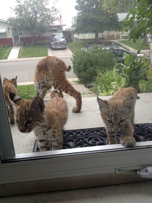 Baby bobcats in Haysboro