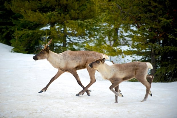 B.C. caribou endangered