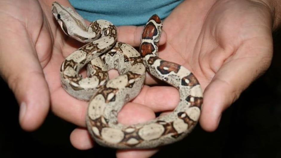 Pet Snake Goes Missing As House Sold Reappears To Shock New Owners Cbc News
