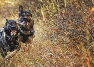 Calgary police canine calendar