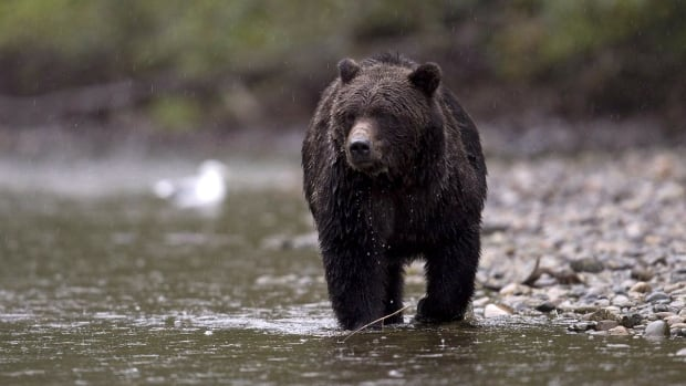 A mother grizzly attacked two sheep hunters south of Fort Nelson, B.C. on Sunday.