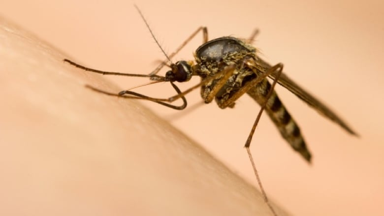 Sexually attractive mosquito