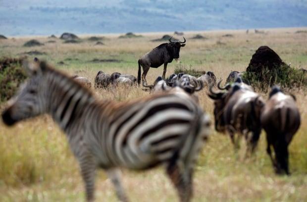 KENYA wildebeest masai mara