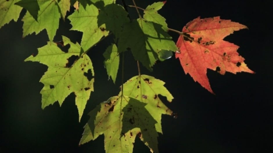 Maple trees provide more than just syrup | CBC News
