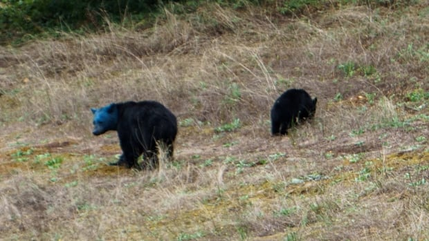 The conservation officer says this black bear may have got its head into a can of spray paint.