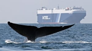 Early warning system in the works to protect blue whales from ships: DFO