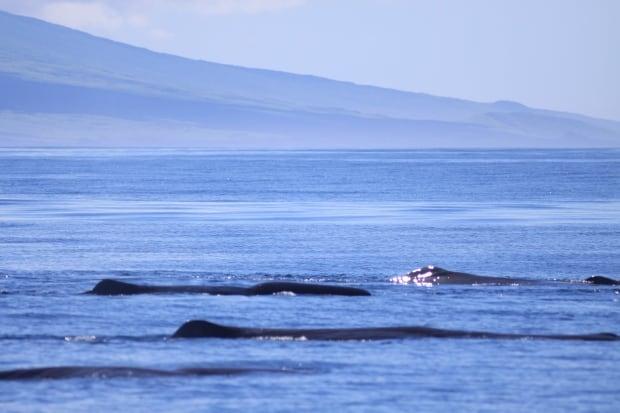 Sperm whales near Galapagos