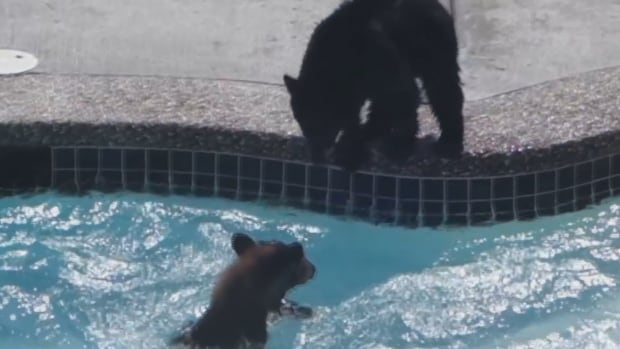 Bear Cubs Frolic In West Vancouver Swimming Pool Cbc News