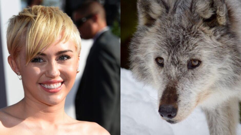 Miley Cyrus against wolf cull
