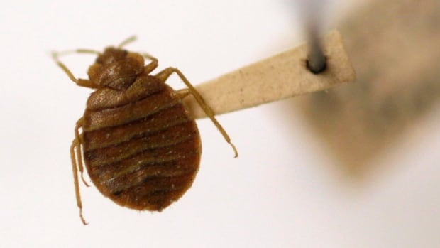 A bed bug is displayed at the Smithsonian Institution National Museum of Natural History in Washington, D.C.