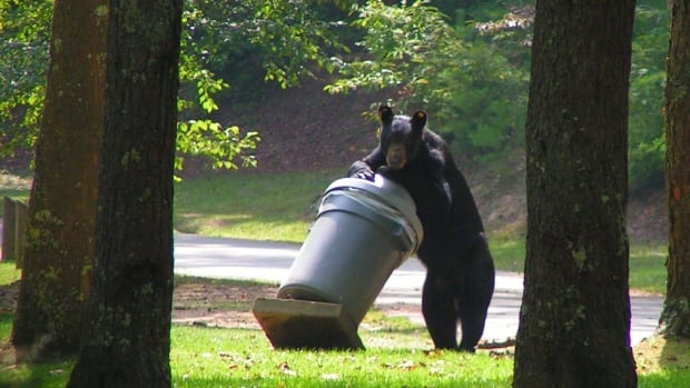 Bears are attracted to food sources like garbage and rotting fruit.