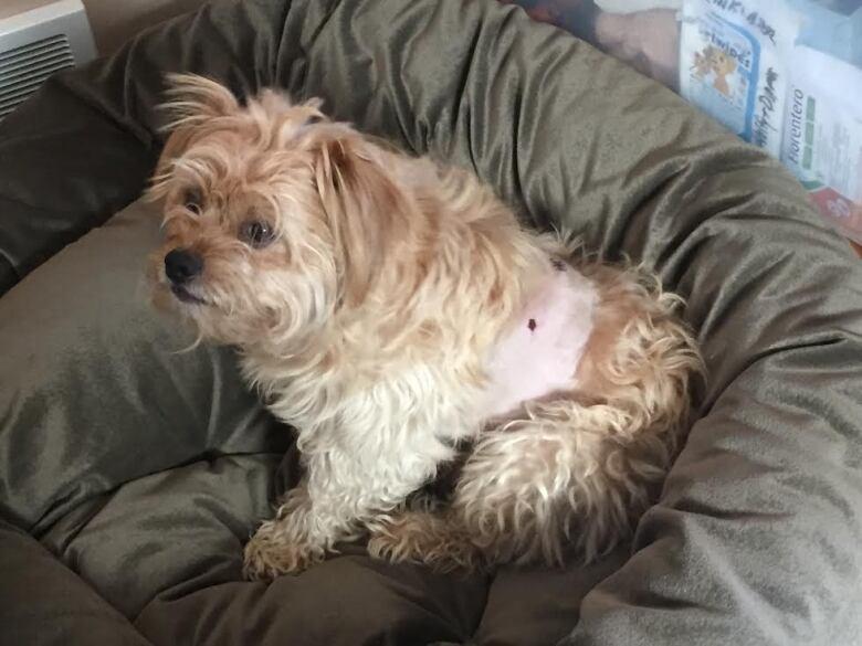 Dobermans attack small dog at Winnipeg park | CBC News