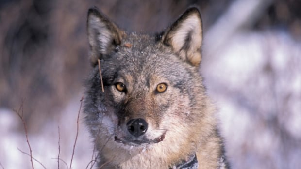 Ontario's largest fishing and hunting organization is applauding a proposal by the Ministry of Natural Resources and Forestry to help increase the wolf harvest in the northern part of the province.