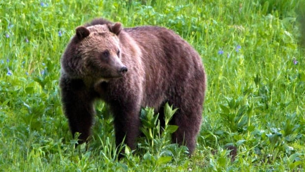 The study, done by researchers at the University of Alberta, tracked 18 grizzly bears wearing GPS collars in the foothills near Hinton.