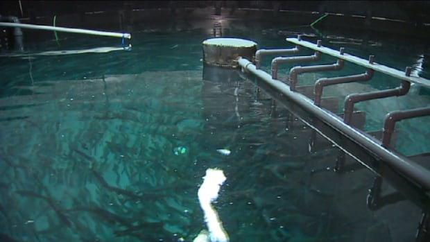 Juvenile salmon swim in a tank at the Sustainable Blue Fish Farm in Hants County.
