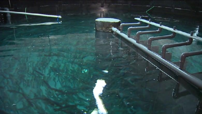 Nova Scotia salmon farmed on land brought to market