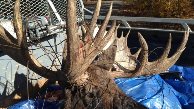 This moose was found caught in telegraph wire adjacent to the White Pass and Yukon Route railway on Friday. Ken Knutson, Yukon conservation officer, says it likely had been trapped for a day or two.