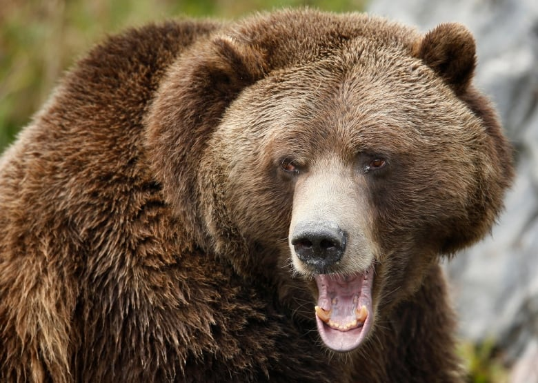 Ecogroups hope to oust bear-hunting guides from rainforest.
