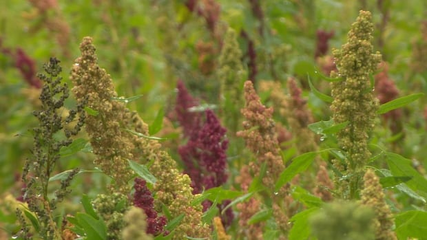 Quinoa growing in St. Mary's Bay community garden Riverside