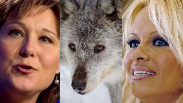 Pamela Anderson has written to Premier Christy Clark protesting the B.C. wolf cull.
